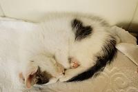 ハート模様の子猫