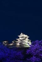 兵庫県 姫路城と桜のライトアップ