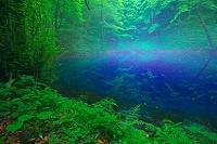 青森県 十二湖 朝靄の青池