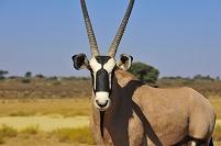 南アフリカ カラハリ砂漠のオリックス