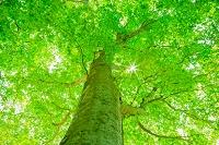 山形県 大頭森山自然公園 新緑のブナの大木