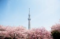 東京都 隅田公園から望む東京スカイツリーと桜