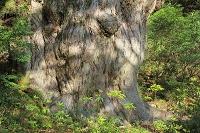 鹿児島県 縄文杉