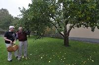 スウェーデン ヴェステロース 庭木の定番リンゴを収獲する老夫婦