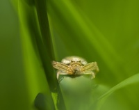 カニグモ科の蜘蛛