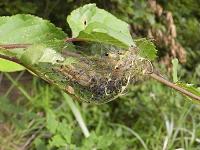 メイガの一種幼虫?