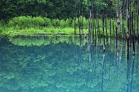 新緑と青い池 美瑛 北海道