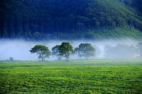北海道 朝の牧場 霧とミズナラの木