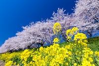 埼玉県 桜堤公園 菜の花と桜並木