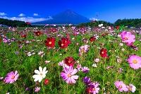 山梨県 富士山とコスモス