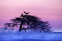 夜明け前の一本松とオジロ鷲の番い 別海町