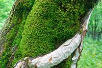 三重県 御池岳の樹と苔