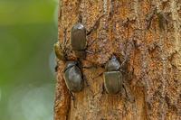 樹液に群がるカブトムシ