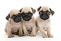 パグ 3頭の仔犬
