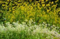 カラシナとダイコンの花