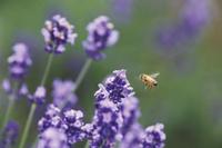 北海道 彩香の里のラベンダー畑で蜜の採集にきたミツバチ