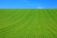 北海道 色づき始めた麦畑