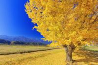 長野県 渡場のイチョウ並木と中央アルプス