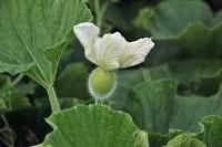 栃木県 ユウガオの花と実