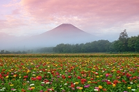 山梨県 朝霧の百日草の花畑と赤富士