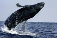 ブリーチングするザトウクジラ
