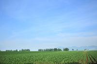 北海道 上士幌町のレントコーン畑と青空