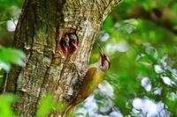 アオゲラの繁殖 生き残りを懸けて 競争する二羽の雛