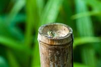 竹筒から覗くアマガエル