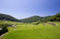 長崎県 春日集落 稲育つ春日の棚田