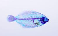 マコガレイ Pseudopleuronectes yokohamae
