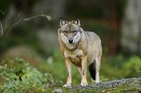 ドイツ ヨーロッパオオカミ