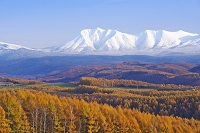 北海道 十勝岳連峰とカラマツ