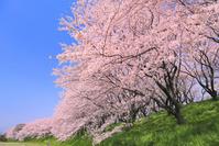 岐阜県 大島堤の桜並木