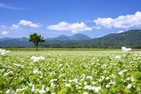 北海道 花咲くそば畑とピンネシリ