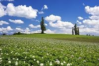 北海道 美瑛の丘 じゃがいもの花