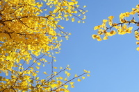 黄葉した木