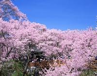 長野県 高遠城址公園・桜雲橋と高遠小彼岸桜