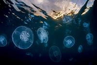 東京都 小笠原 夕暮れの海に漂うミズクラゲ