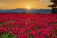 奈良県 ヒガンバナと朝日