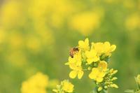 ナノハナの花粉を集める西洋ミツバチ