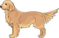 犬 ゴールデンレトリーバー