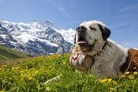 スイス クライネ・シャイデック犬