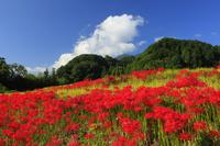 奈良県 葛城古道の彼岸花