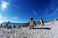 南アフリカ共和国 ダッセン島 ケープペンギン