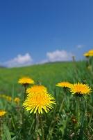 タンポポの草原