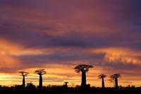 アフリカ マダガスカル バオバブ