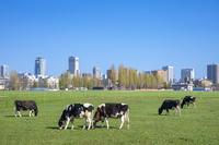 北海道 北大の第一農場の牛たちと札幌市街