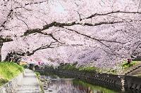 愛知県 岩倉桜まつり