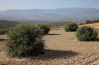 スペイン アンダルシア オリーブ農園
