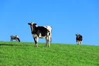 北海道 牛の放牧